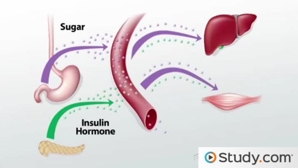 Endocrine System Function Hormone Regulation Video Lesson