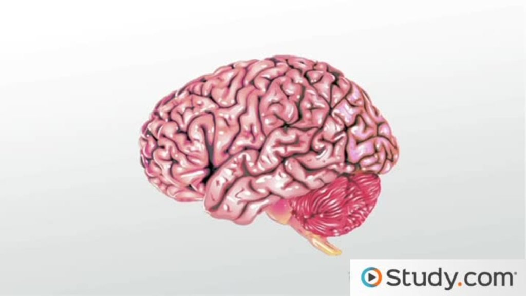 What Is Neuroplasticity Definition Amp Examples Video