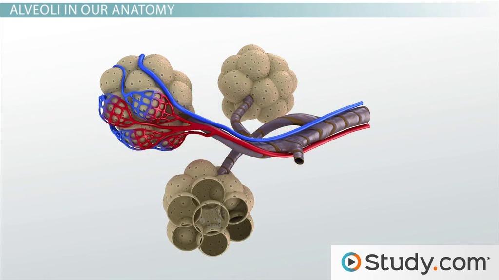 Alveoli: Function, Definition & Sacs - Video & Lesson Transcript ...