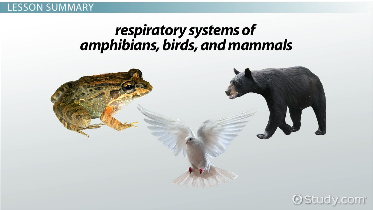 Amphibian, Bird & Mammal Respiratory Systems - Video & Lesson ...