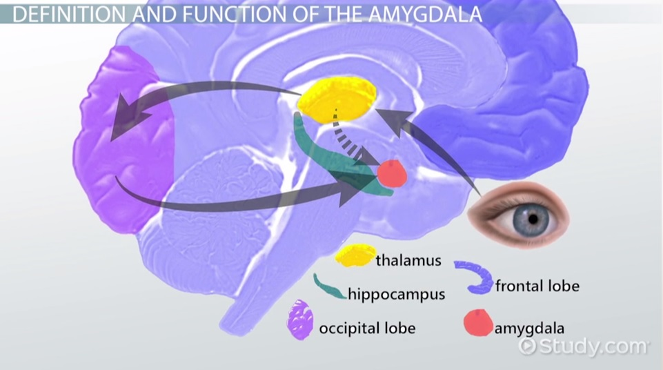 The Amygdala Definition Role Function Video Lesson