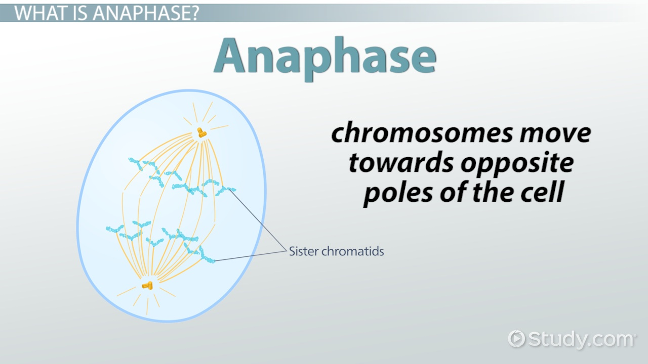 Anaphase definition concept video lesson transcript study ccuart Images