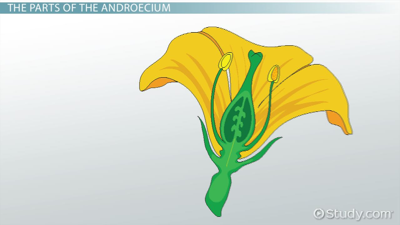 Androecium Definition Concept Video Lesson Transcript Study