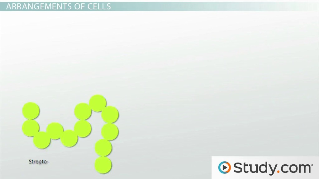 Bacterial Cell Morphology And Classification Definition Shapes