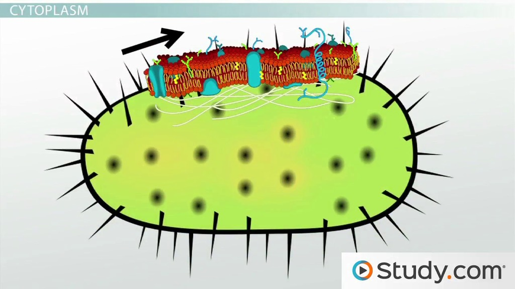 Bacterial cytoplasm cell membrane structure components video bacterial cytoplasm cell membrane structure components video lesson transcript study ccuart Choice Image