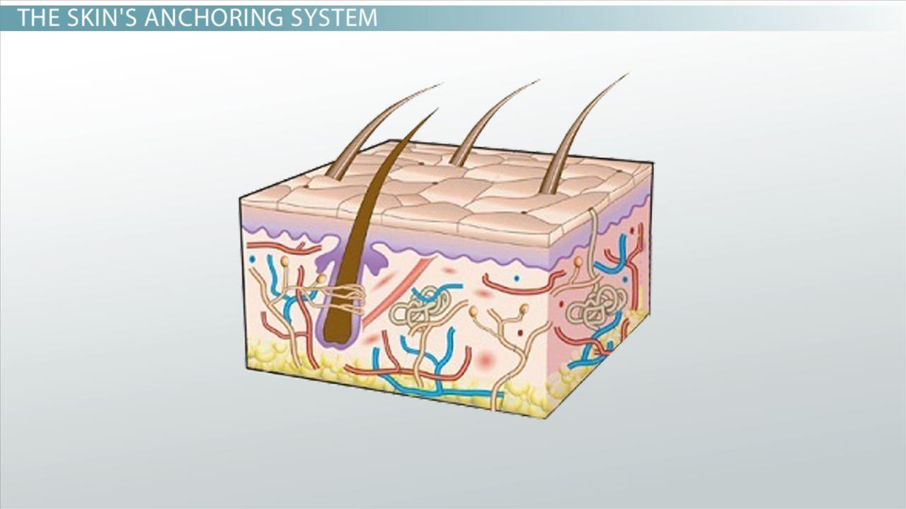 Basement Membrane Function Definition Structure Video Lesson