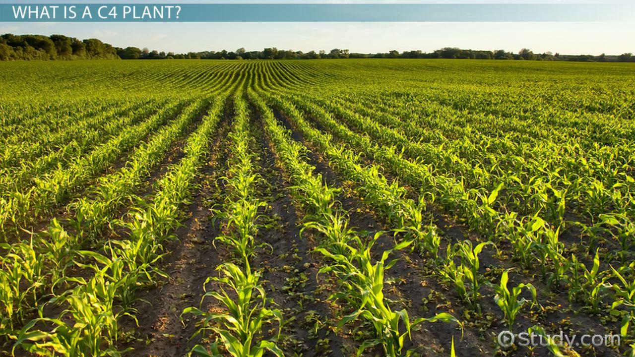 C3 Plants Definition Types Examples Video Lesson Transcript