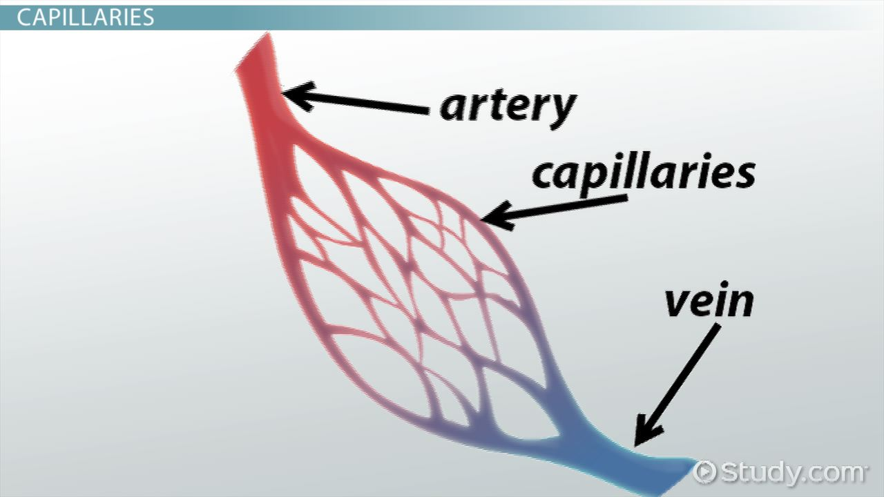 Capillary Fluid Exchange Video Lesson Transcript Study