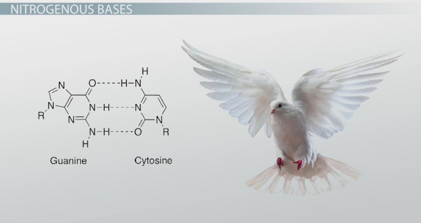 Nitrogenous Base: Definition & Pairs - Video & Lesson Transcript ...