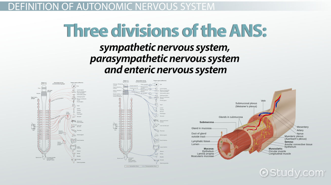 Influence of autonomic nervous system in muscle activity of