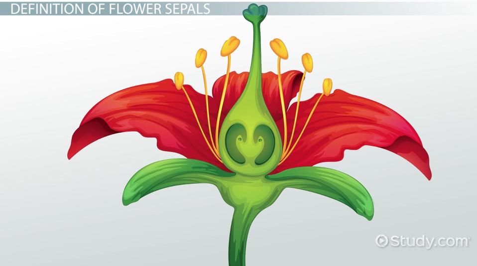 See Diagram 9 3 2 Ercup Flower Note The Number Arrangement Shape And Colour Of Each Set Organs I E Sepals Petals Stamens Carpels