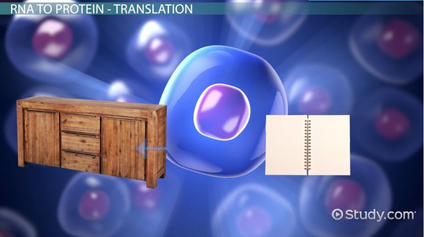 The Central Dogma Of Biology Definition Theory Video Lesson
