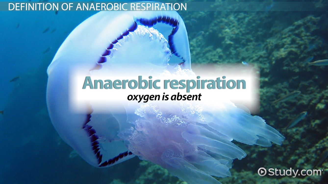 Anaerobic Respiration Definition Equation Examples Video