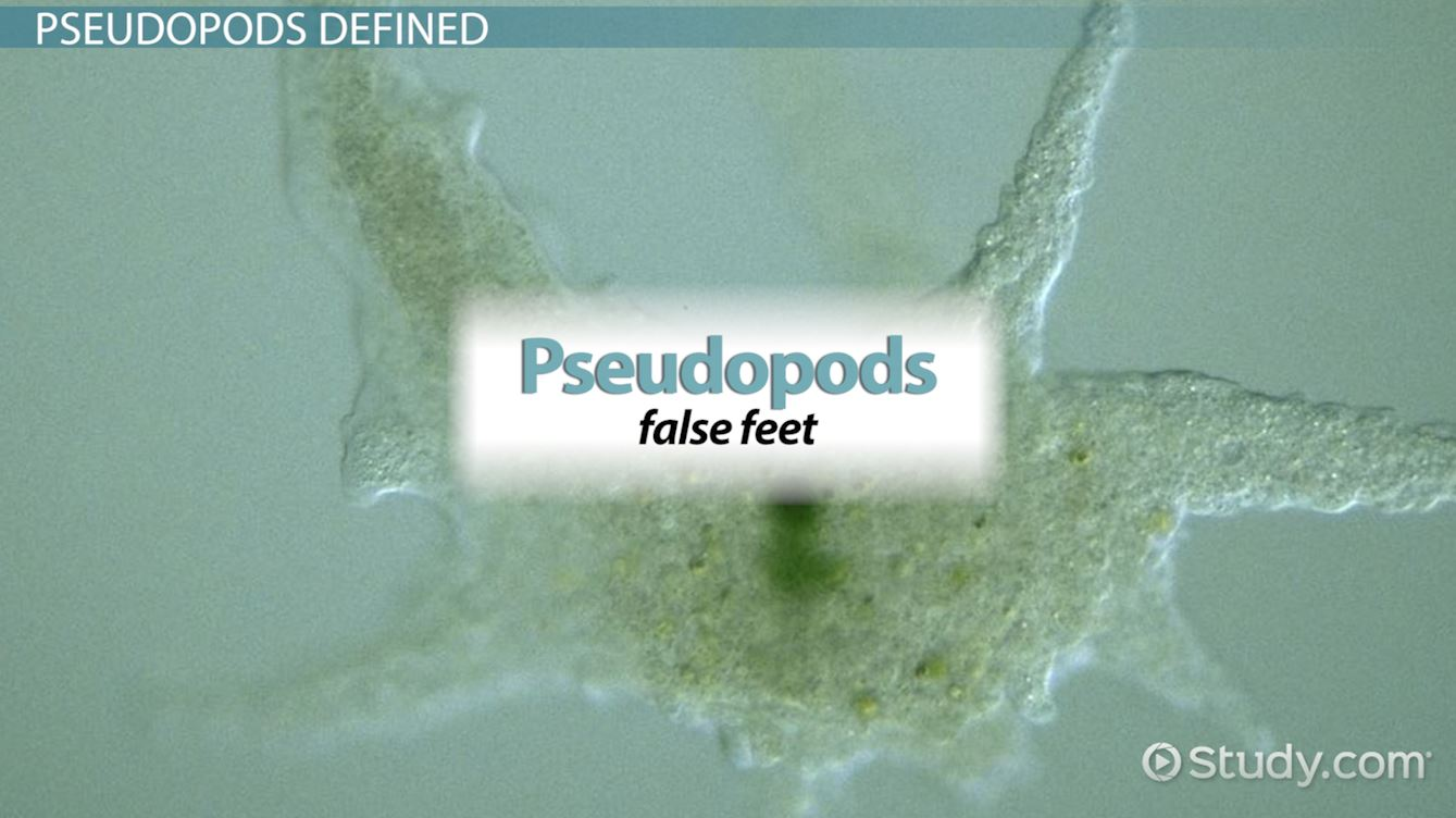 Pseudopods: Definition & Function - Video & Lesson Transcript ...