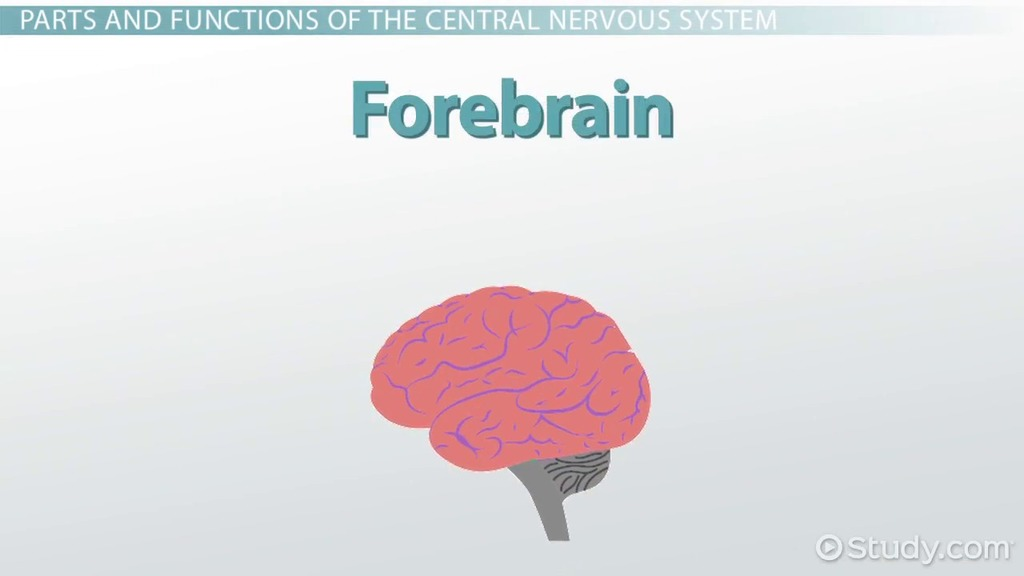 Central Nervous System: Definition, Function & Parts - Video ...