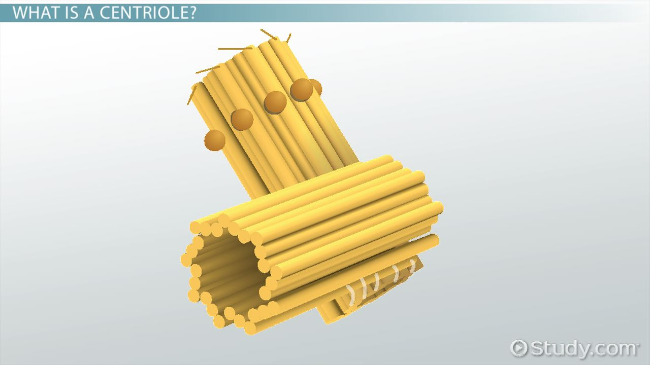 centriole definition  structure   function video 45 degree diagram economics 360 degree diagram