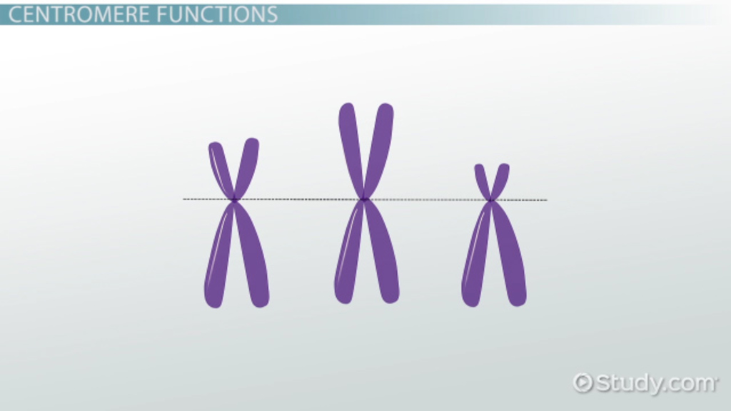 Centromere: Definition & Structure - Video & Lesson ...