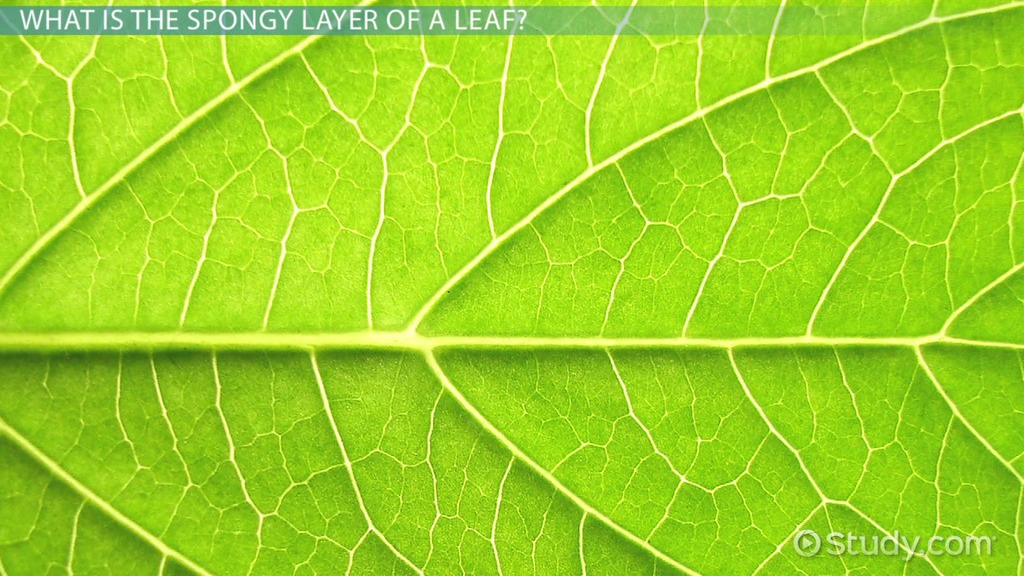 Structure Of Leaves The Epidermis Palisade And Spongy Layers
