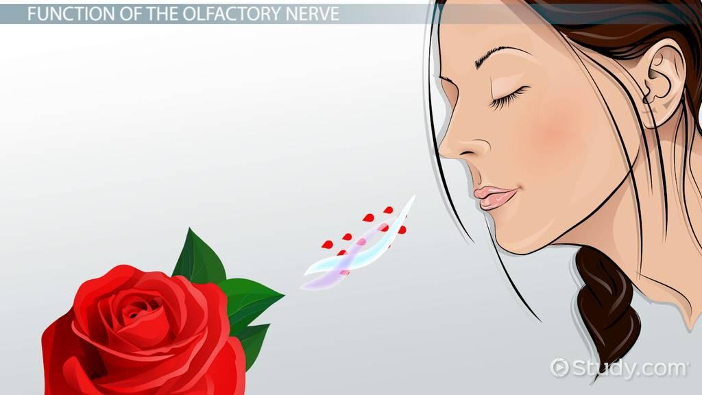 Olfactory Nerve  Function  Disorders  U0026 Regeneration