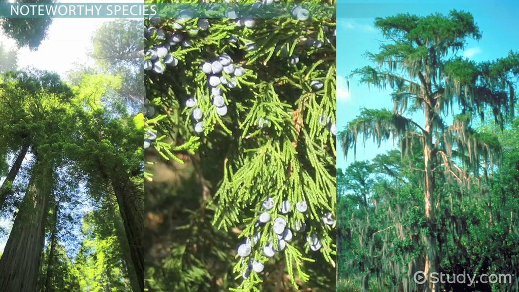 conifers types species examples characteristics definition collenchyma plants plant function study lesson cells