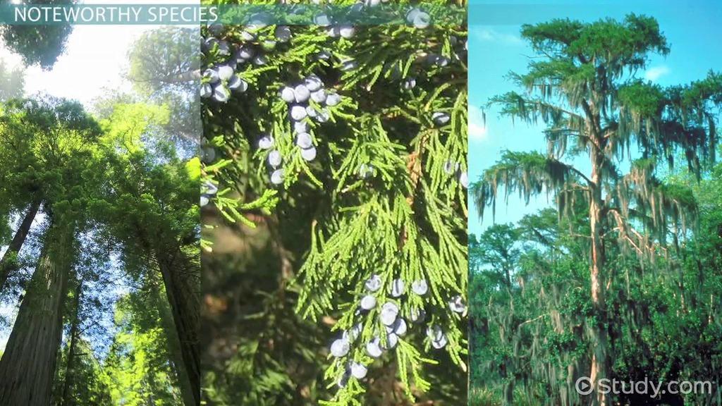 Conifers Species Types Amp Characteristics Video