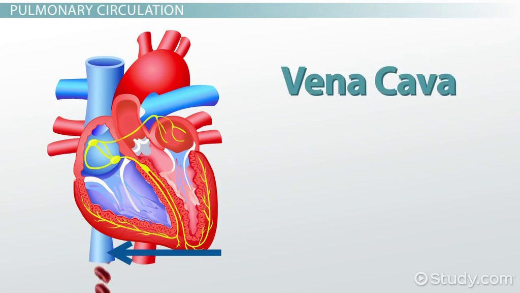 What Is The Cardiovascular System Function Organs Video