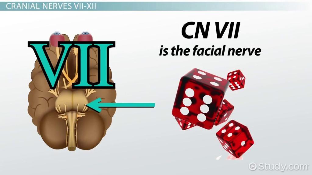 Cranial Nerve Terminology Video Lesson Transcript Study