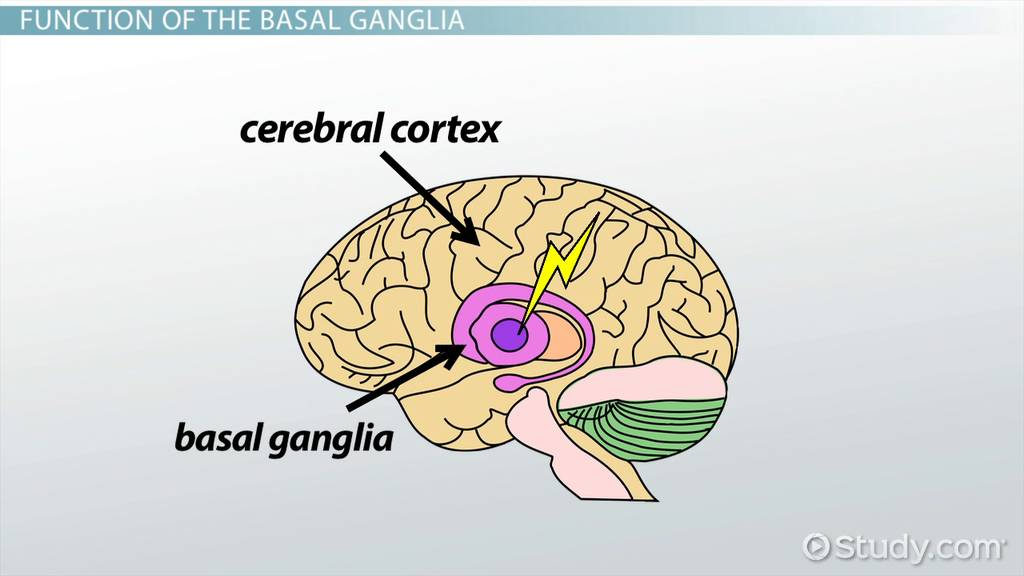 Basal Ganglia Definition Function Video Lesson Transcript