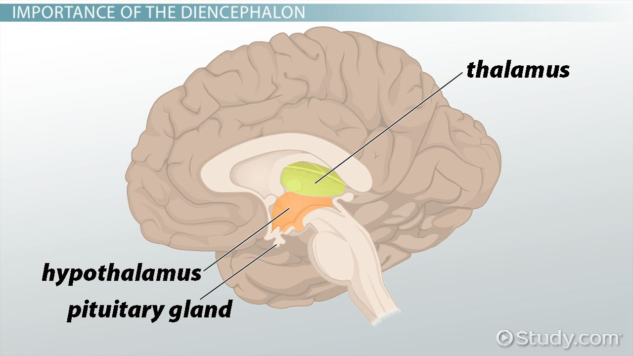 Diencephalon: Definition, Location & Function - Video & Lesson ...