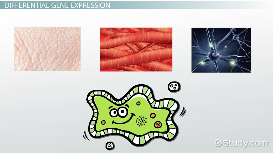 Differential Gene Expression Definition Examples Video Lesson Transcript Study Com