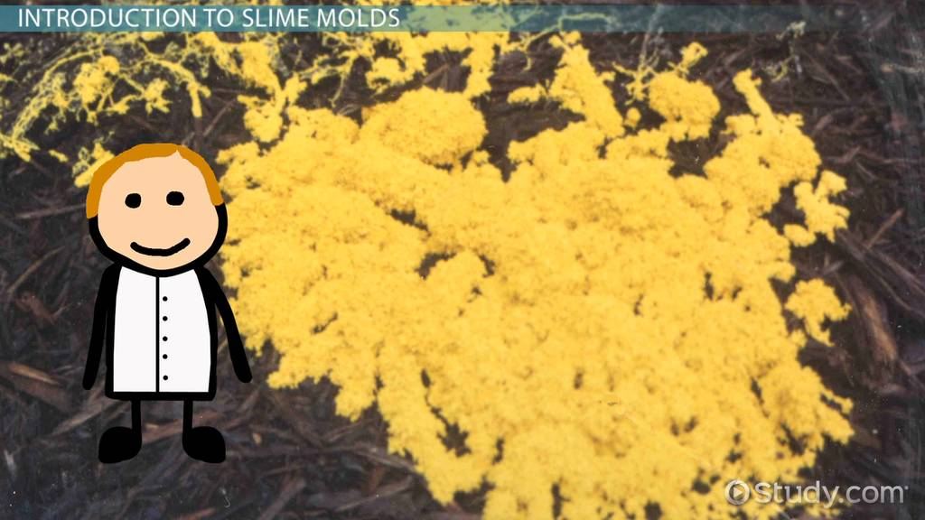 Slime Mold: Definition & Protista Characteristics - Video ...