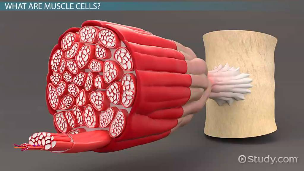 Muscle Cells Lesson For Kids Video Lesson Transcript Study