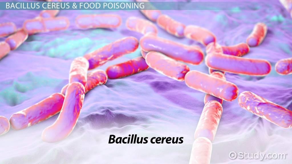 Bacillus Cereus: Morphology & Characteristics - Video ...