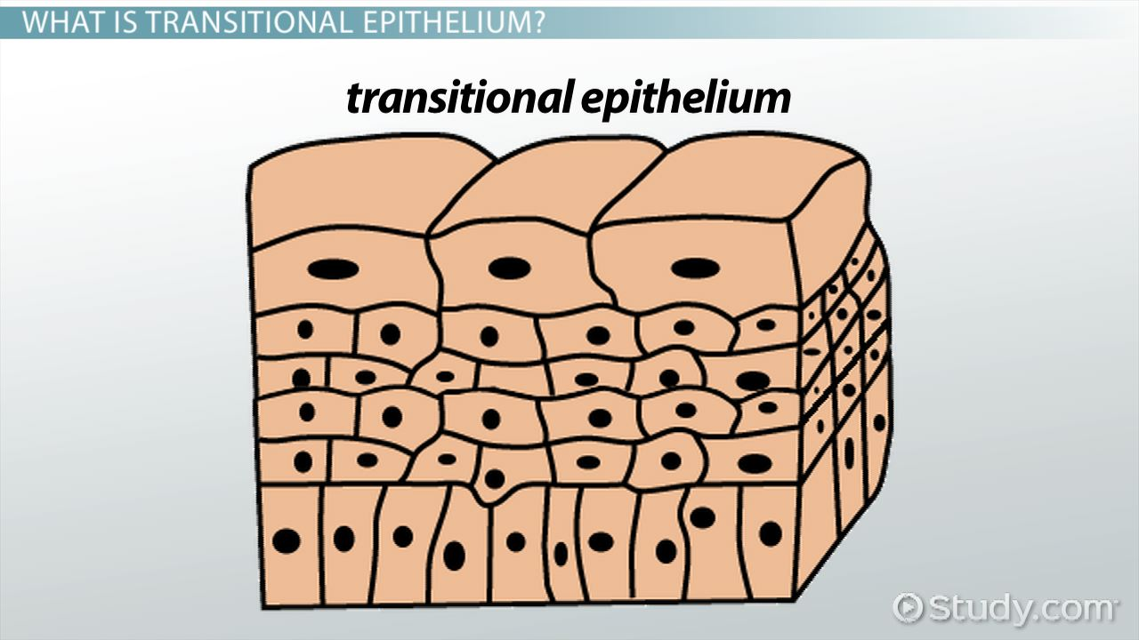 Functions Of Transitional Epithelium Tissue Video Lesson