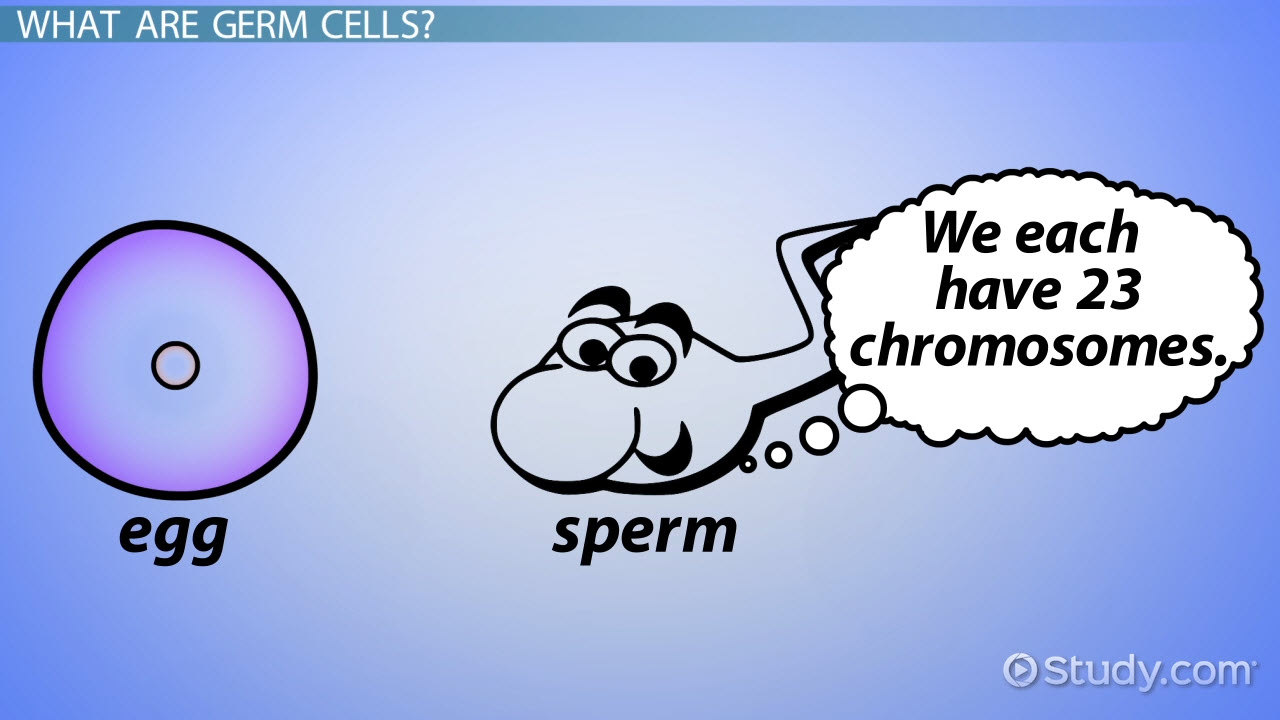 Germ Cells in Humans: Definition & Concept - Video & Lesson ...