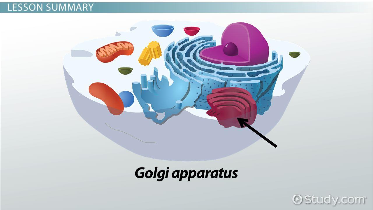 Golgi apparatus definition function video lesson transcript golgi apparatus definition function video lesson transcript study ccuart Choice Image