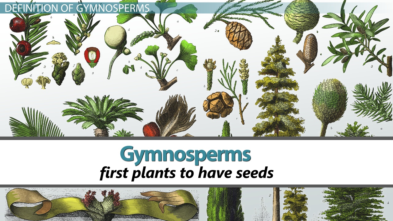 Plants of the department Gymnosperms: signs, structural features, examples