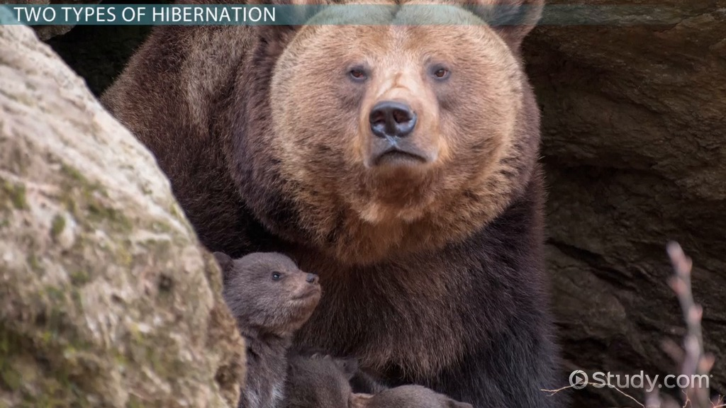 What is Hibernation? - Definition & Facts - Video & Lesson ...