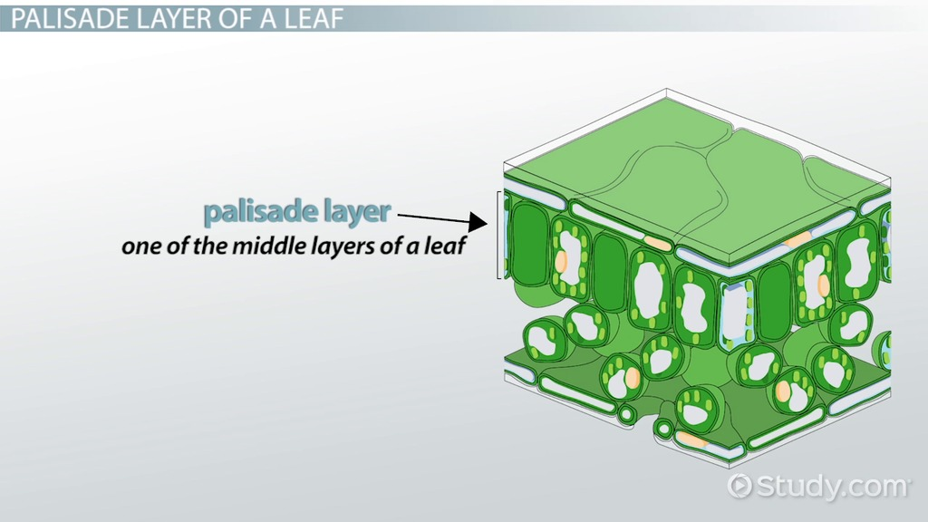 Palisade Layer Of A Leaf Function Definition Video Lesson