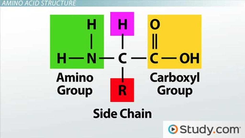 How Amino Acids Form Protein Video Lesson Transcript Study