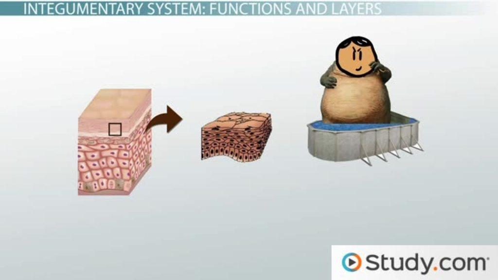 Tolle Integumentary System Animation Galerie - Menschliche Anatomie ...