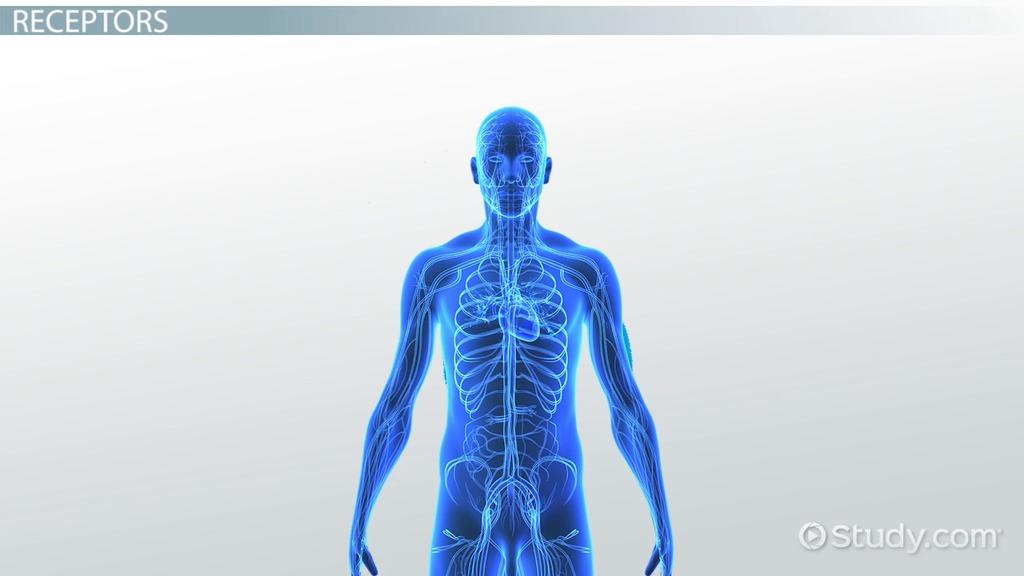 Chemoreceptors: Definition, Location & Function - Video & Lesson ...