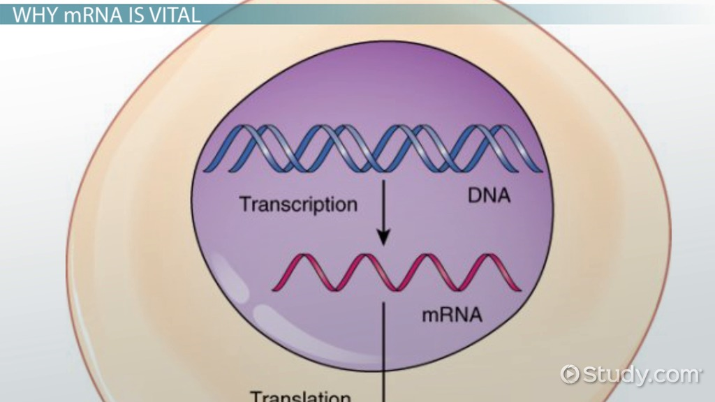 Role Of Mrna In Protein Synthesis Video Lesson Transcript