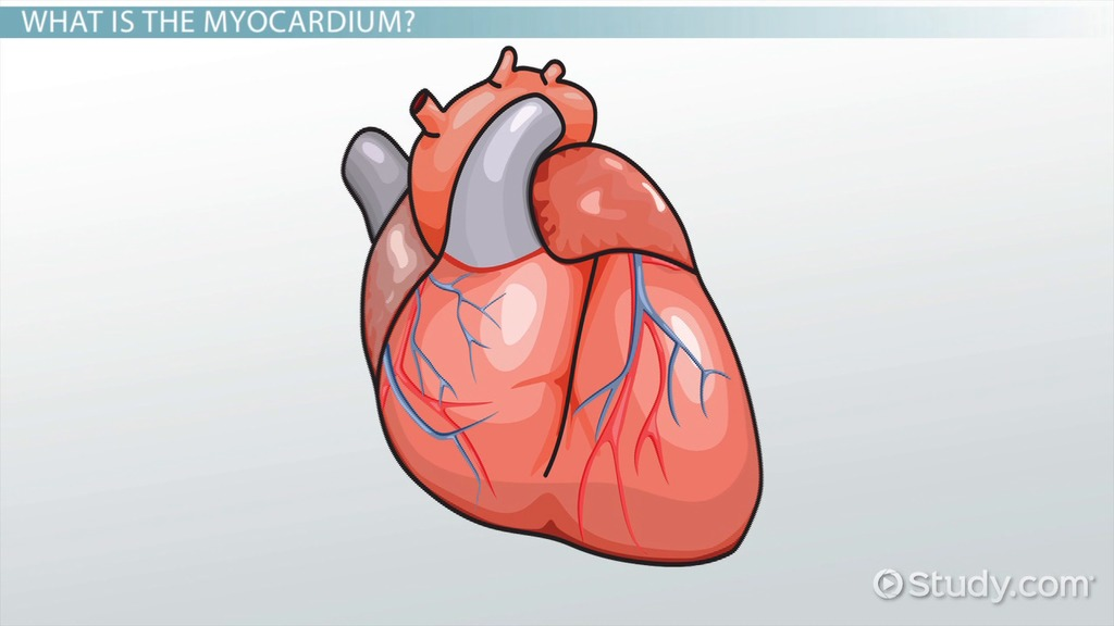 Myocardium Definition Function Video Lesson Transcript