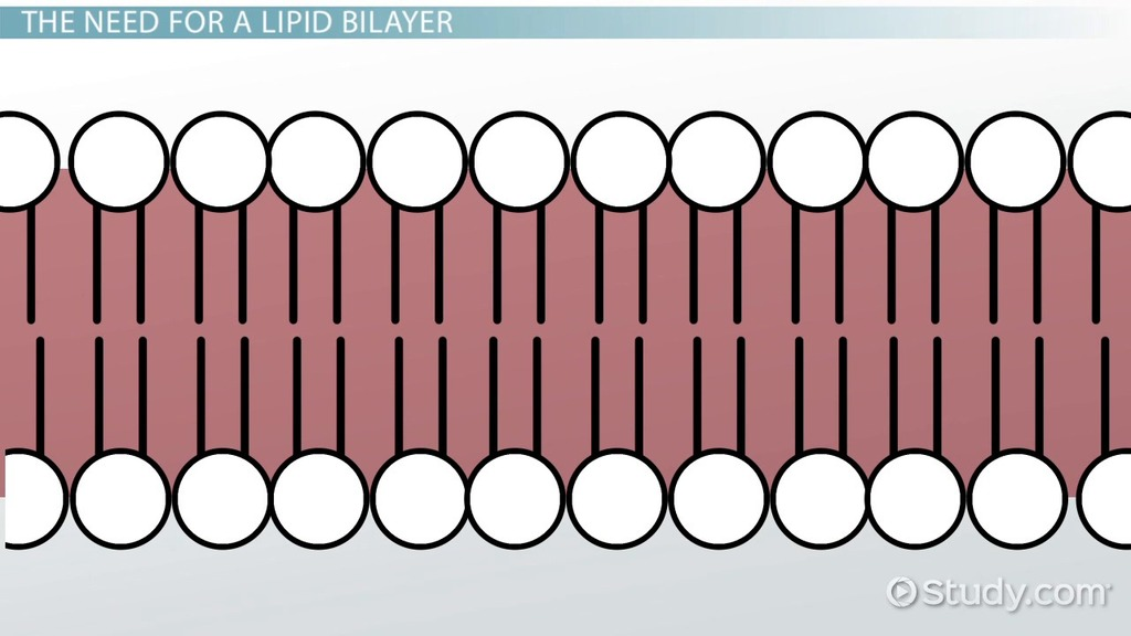 Lipid Bilayer Definition Structure Function Video Lesson