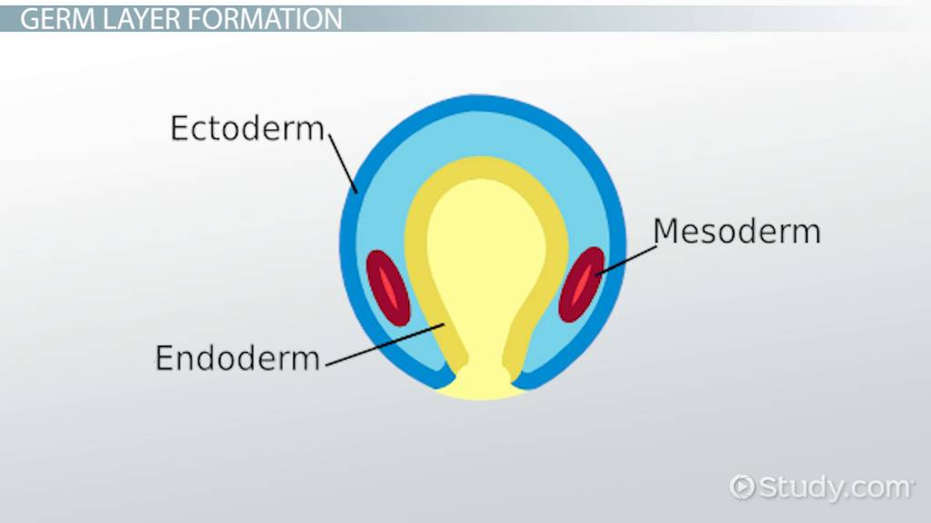 What is Notochord? - Definition, Formation & Function - Video ...