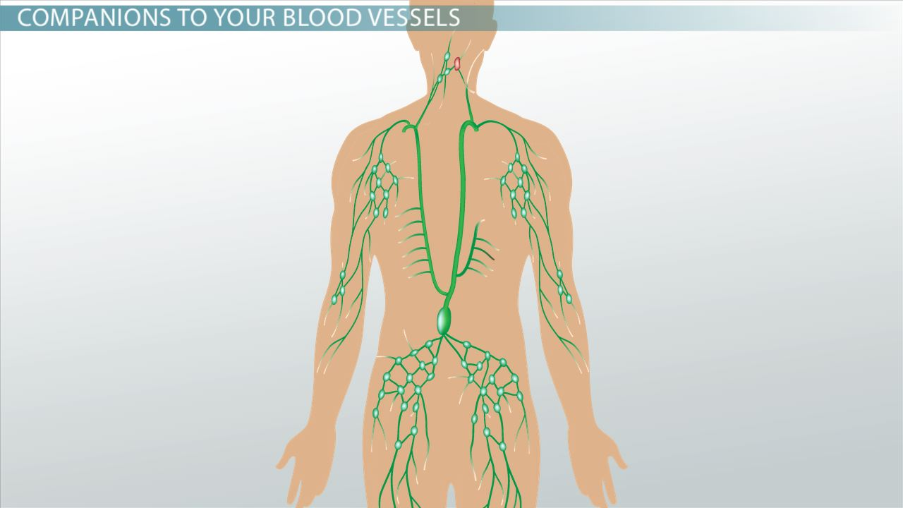 Lymphatic Vessels: Definition & Function - Video & Lesson Transcript ...