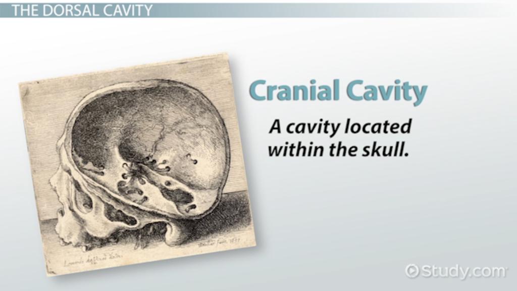 Major Body Cavities: Medical Terminology - Video & Lesson Transcript ...