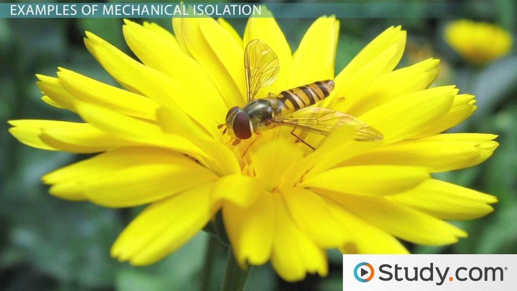 mechanical isolation  definition  u0026 example