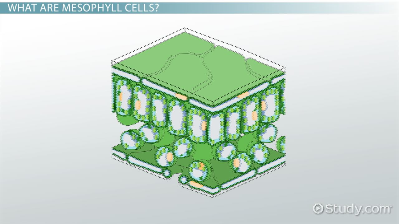 Mesophyll Cells Function Definition Video Lesson Transcript Simple Plant Diagram Cell Basic